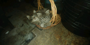 Awsome lovely kittens to a good home