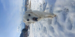 Lost male Pyrenees dog
