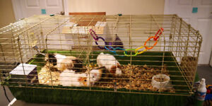 Four guniea pigs with cage only $85