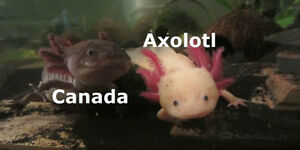 Juvenile Axolotls, direct from Canada's largest breeder!