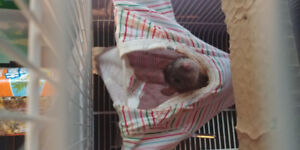 Two Female Pet Rats for Rehome. Cage Included!