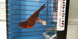 Male intensive bronze canary ---SOLD