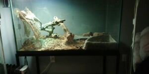 bearded dragaons and large aquariums