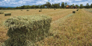 Looking for square bales of hay