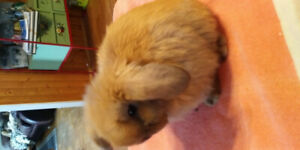 Jr Holland Lop Buck
