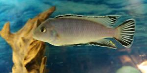 Cichlid Fish