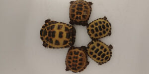 Russian Tortoises for Sale.