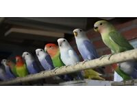 Top quality lovebirds for sale
