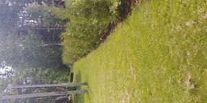 Eastern White Cedar For Hedging