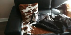 Femelle Boston Terrier cherche famille d'adoption