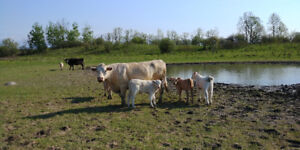 Cattle herd for sale