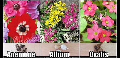 Pack of 75 Mixed Gardening Colour Bulbs Anemone Allium Oxalis Summer Flowering