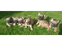 Beautiful French Bulldogs puppies