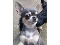 Cute small young adult Chihuahua Girl for sale ... true blue tri colour with short coat