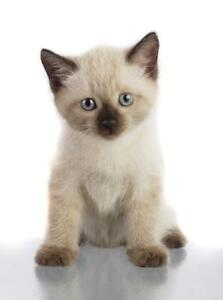 Looking for a Siamese kitten..