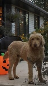 MISSING GOLDEN DOODLE
