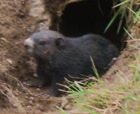 recherche terre chasse à la marmotte et au petit gibiers