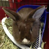 "Adult Female Rabbit - Lionhead-Bunny Rabbit: ""Hop"""