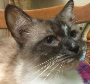"""Young Female Cat - Siamese: """"Dorothy"""""""