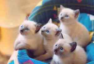 Purebred Siamese kittens Medowie Port Stephens Area Preview