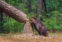 nuisance beaver removal by registered trapper