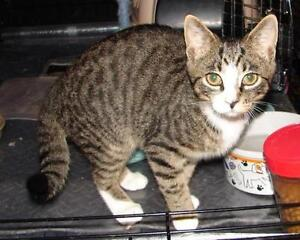 "Young Male Cat - Domestic Short Hair-Tabby: ""Little John"""
