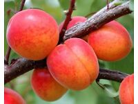 Apricot Trees..... Orders being taken now for collection in January