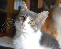 "Young Female Cat - Domestic Short Hair: ""Mignonne"""