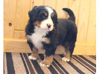 Top quality Bernese mountain pups