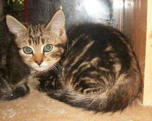 "Young Female Cat - Domestic Short Hair-Tabby: ""Carlene"""
