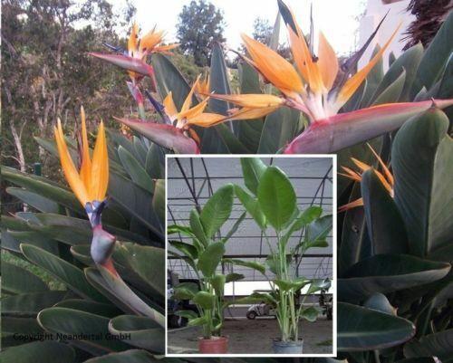 Riesen-Strelizie Pflanzen Dekoideen für die Wohnung drinnen Zimmerpflanze Samen