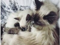 Ragdoll cats - must go together
