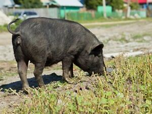 Free 3 - 4 year old pot belly pig
