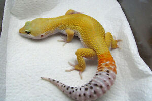 1 year old Leapord geko to a good home Peterborough Peterborough Area image 1