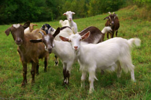 Looking for sheep and goats and alpacas as pets