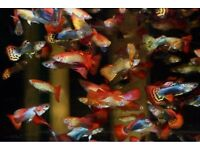 8x Guppies for sale Males and Females live tropical fish