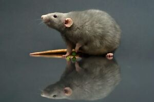 Looking for a rat breeder!