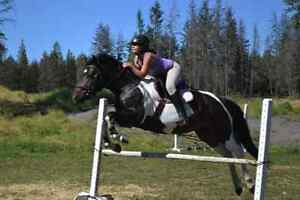 Welsh X Paint Mare Show Jumping Champion for Free Lease