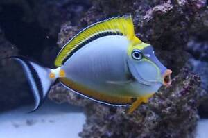 Looking for medium size Blonde Naso Tang or Powder Blue Tang Carine Stirling Area Preview