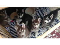 Husky puppies rare copper chocolate colour also black and white