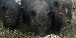 MINI POT BELLY PIG BABIES!