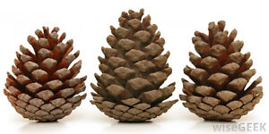 Pine Cones -- Nature's Christmas Decorations