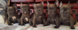 Quality Micro KC Registered Blue French Bulldogs