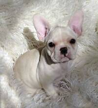 french bulldog to a much loved home The Dawn Gympie Area Preview