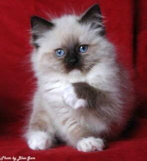 Egyptian Mau or Ragdoll kitten wanted! Melbourne Region Preview