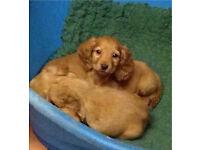 Golden Cocker Spaniel pups for sale