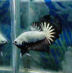Black Dragon & Koi Halfmoon Plakat Bettas