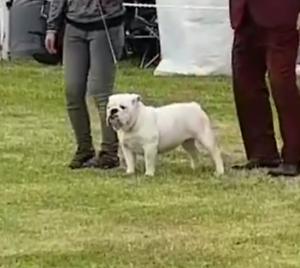 Female british bulldog