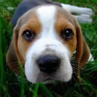 Female beagle puppy wanted
