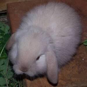 Purebred Minilop Rabbits Sunshine Brimbank Area Preview